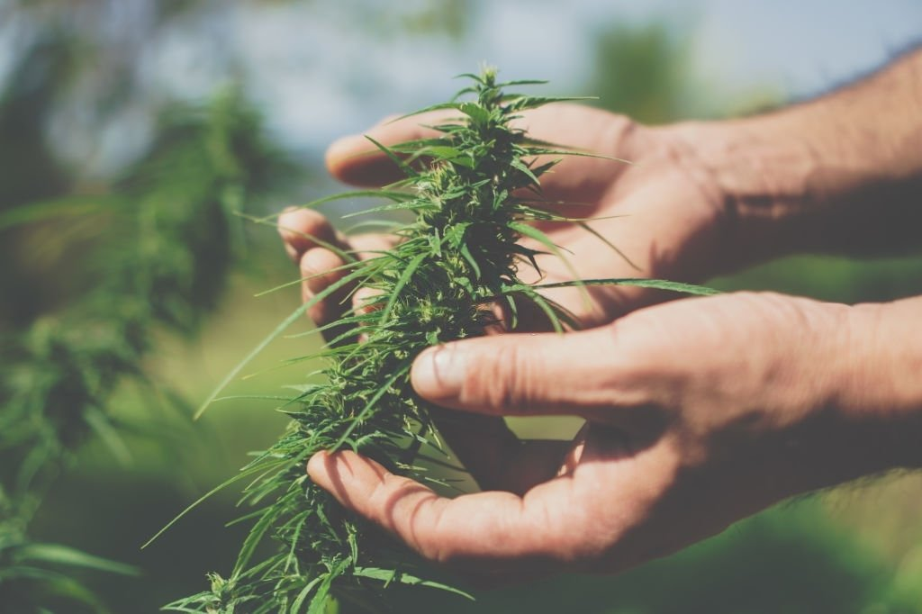 8 Common Benefits of Cannabis Sativa Strains